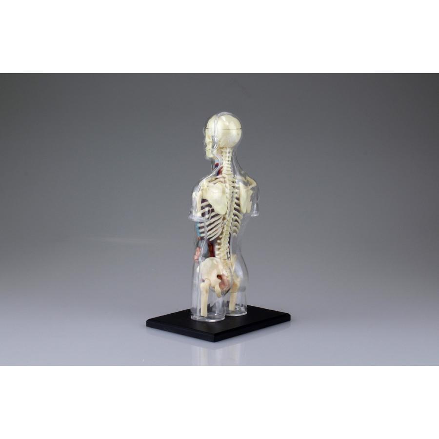 胴体 解剖スケルトンモデル 4D VISION 人体解剖モデル No.14 #立体パズル|aoshima-bk|04