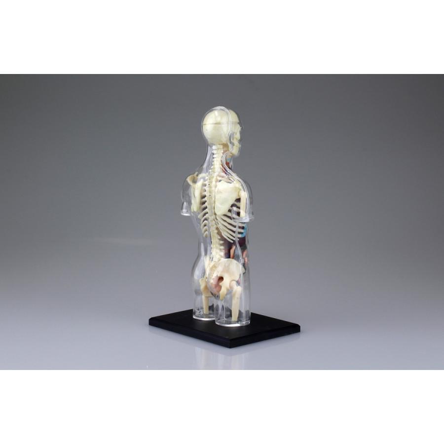 胴体 解剖スケルトンモデル 4D VISION 人体解剖モデル No.14 #立体パズル|aoshima-bk|06