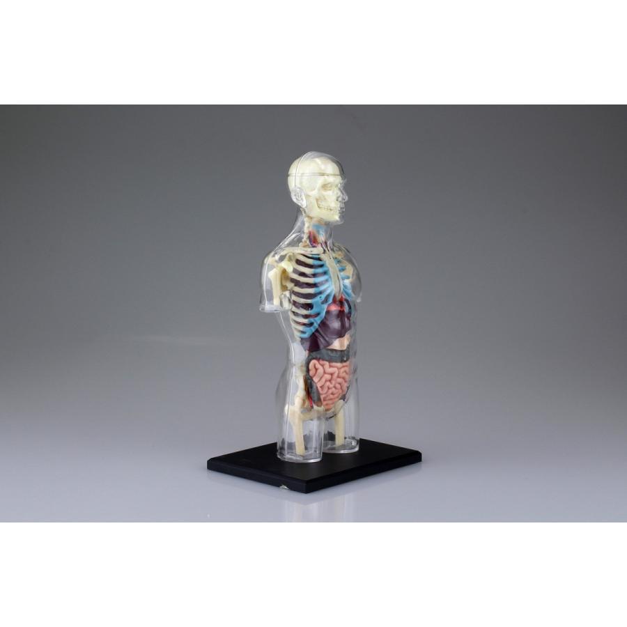 胴体 解剖スケルトンモデル 4D VISION 人体解剖モデル No.14 #立体パズル|aoshima-bk|08