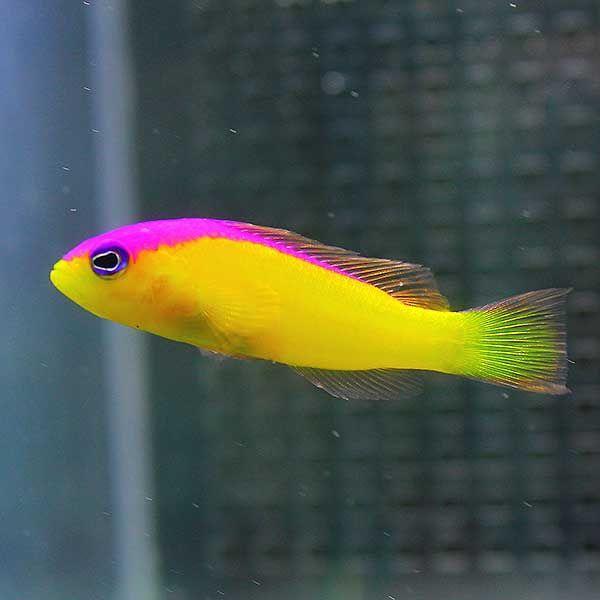 カンムリニセスズメ 4-6cm±! 海水魚 メギス 餌付け 【PHセール対象】【メギス】 aquagift