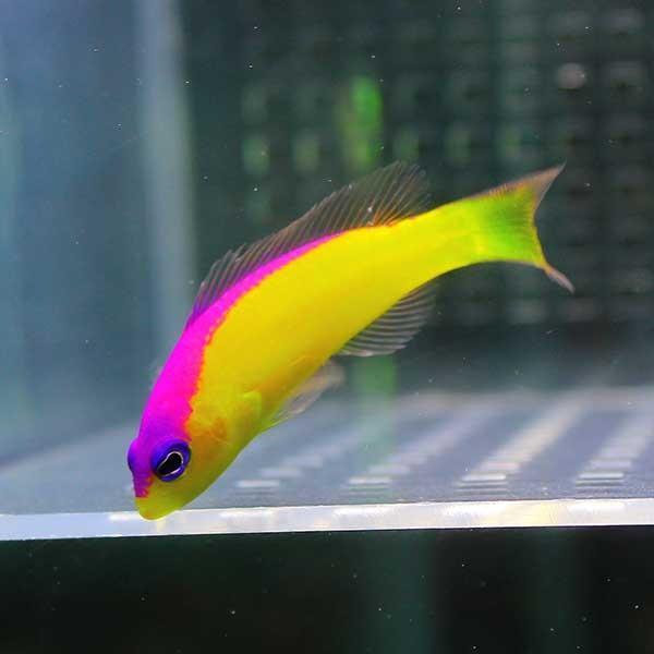 カンムリニセスズメ 4-6cm±! 海水魚 メギス 餌付け 【PHセール対象】【メギス】 aquagift 02
