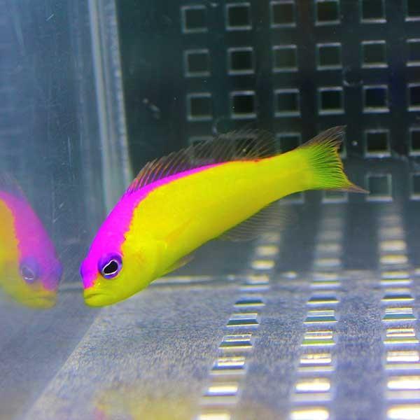 カンムリニセスズメ 4-6cm±! 海水魚 メギス 餌付け 【PHセール対象】【メギス】 aquagift 03