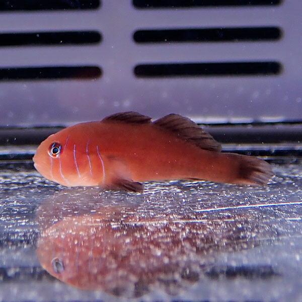 コバンハゼの一種 1-3cm±!海水魚 ハゼ 15時までのご注文で当日発送【ハゼ】|aquagift