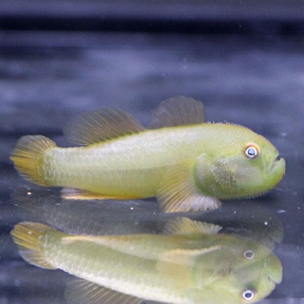 コバンハゼの一種 1-3cm±!海水魚 ハゼ 15時までのご注文で当日発送【ハゼ】|aquagift|02