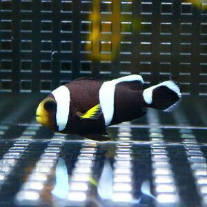 ホワイトチップアネモネ 【1匹】 3-5cm±! 海水魚 クマノミ 餌付け 【PHセール対象】【クマノミ】|aquagift