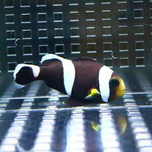 ホワイトチップアネモネ 【1匹】 3-5cm±! 海水魚 クマノミ 餌付け 【PHセール対象】【クマノミ】|aquagift|02