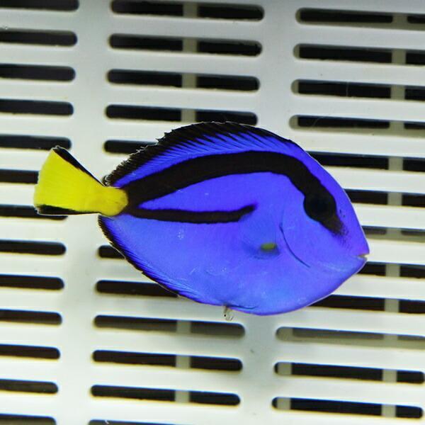 ナンヨウハギ Sサイズ 3-4.5cmぐらい!  ハギ 海水魚 餌付け【ハギ】 aquagift 02