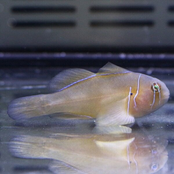 ポイズンゴビー 2-4cm ! 【餌付け】15時までのご注文で当日発送【ハゼ】|aquagift|02