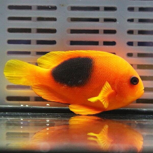 レッドサドルバックアネモネ 5-7cm±! 海水魚 クマノミ 餌付け 15時までのご注文で当日発送【クマノミ】 aquagift 02