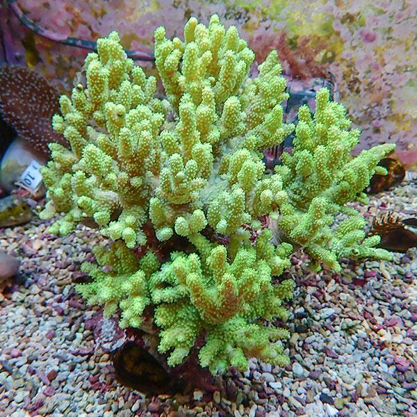 【サンゴ現物7】トサカ.sp 6-7cm沖縄産(B-1041) 海水魚 サンゴ 生体|aquagift