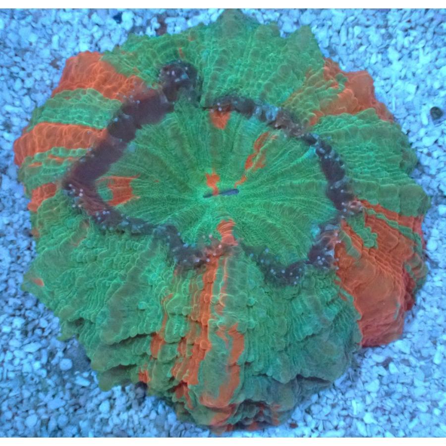 No.8 アザミハナガタサンゴ スペシャルマルチ個体 ハードコーラル プクプク系 アクアスタイルユー サンゴ 通販 販売 ユラユラ ASY
