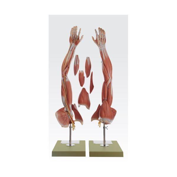 上肢模型人体解剖模型 (6分解) 等身大 J1148