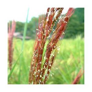 雑穀米ではなくイロイロ米 1kg 令和2年産 黒米 赤米 玄米 ありがとんぼ農園 arumama 05