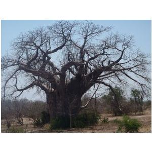 バオバブオイル 100mlグラス baobabsunrise 02
