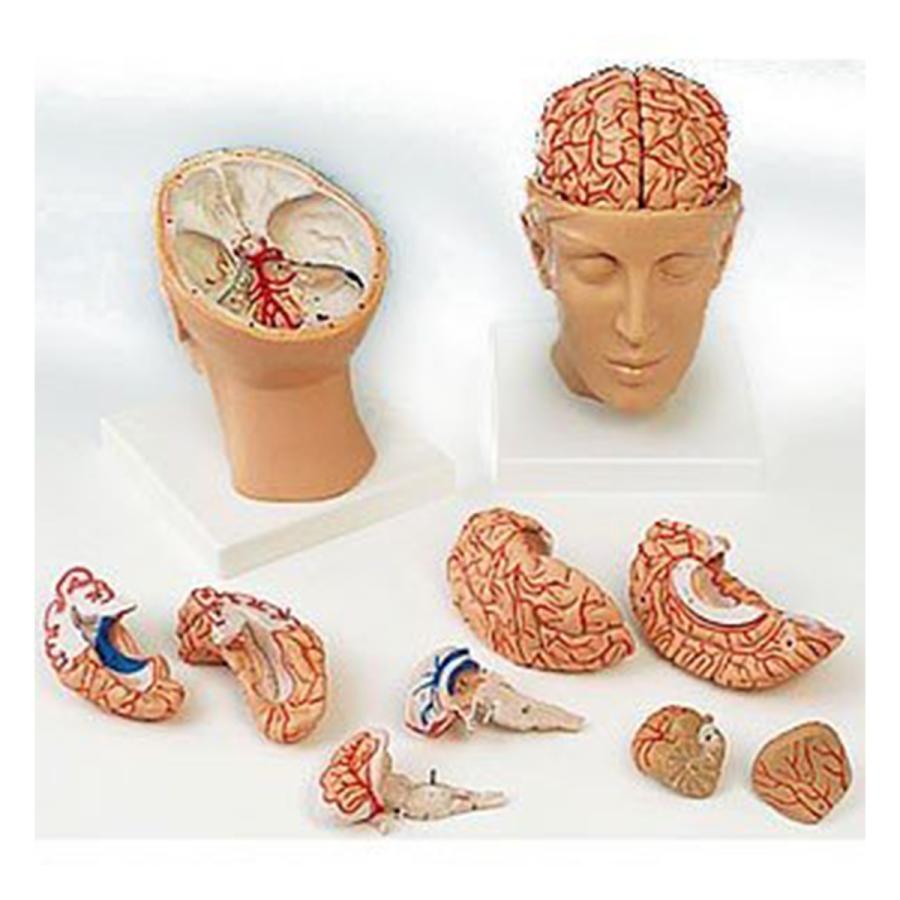 脳9分解モデル(動脈、頭蓋底付)(1台)  11-2085-00