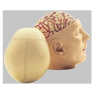 ソムソ社 頭部基底模型 bs5/2 鍼灸 模型
