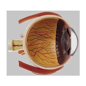 ソムソ社 右半分の眼球模型 cs21/1 鍼灸 模型