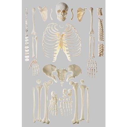 ソムソ社 骨格分離模型(全身) qs40_1 鍼灸 模型