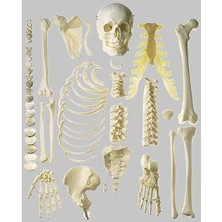 ソムソ社 骨格分離模型(半身) qs41_1 鍼灸 模型