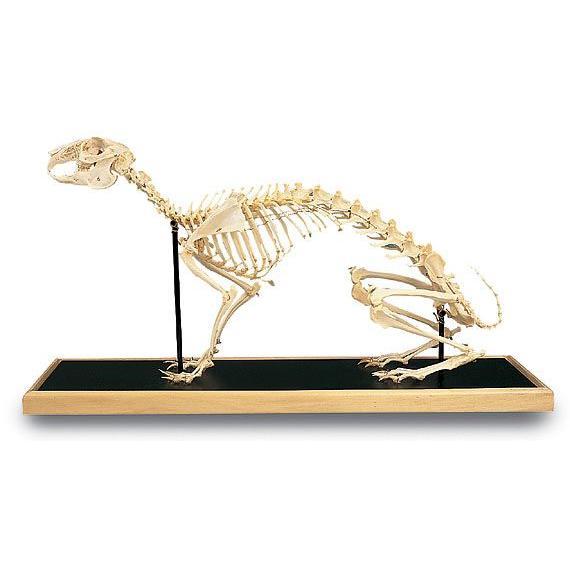 3B社 人体模型  ウサギの全身骨格標本(t30008) 鍼灸 模型
