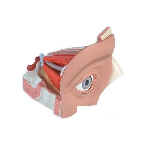 3B社 人体模型  視覚器の構成模型 視覚器の構成5倍大・11分解モデル (vj500a) 鍼灸 模型