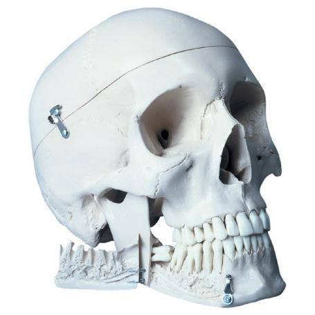 3B社 人体模型  頭蓋骨模型 頭蓋抜歯型4分解モデル (w10532) 鍼灸 模型
