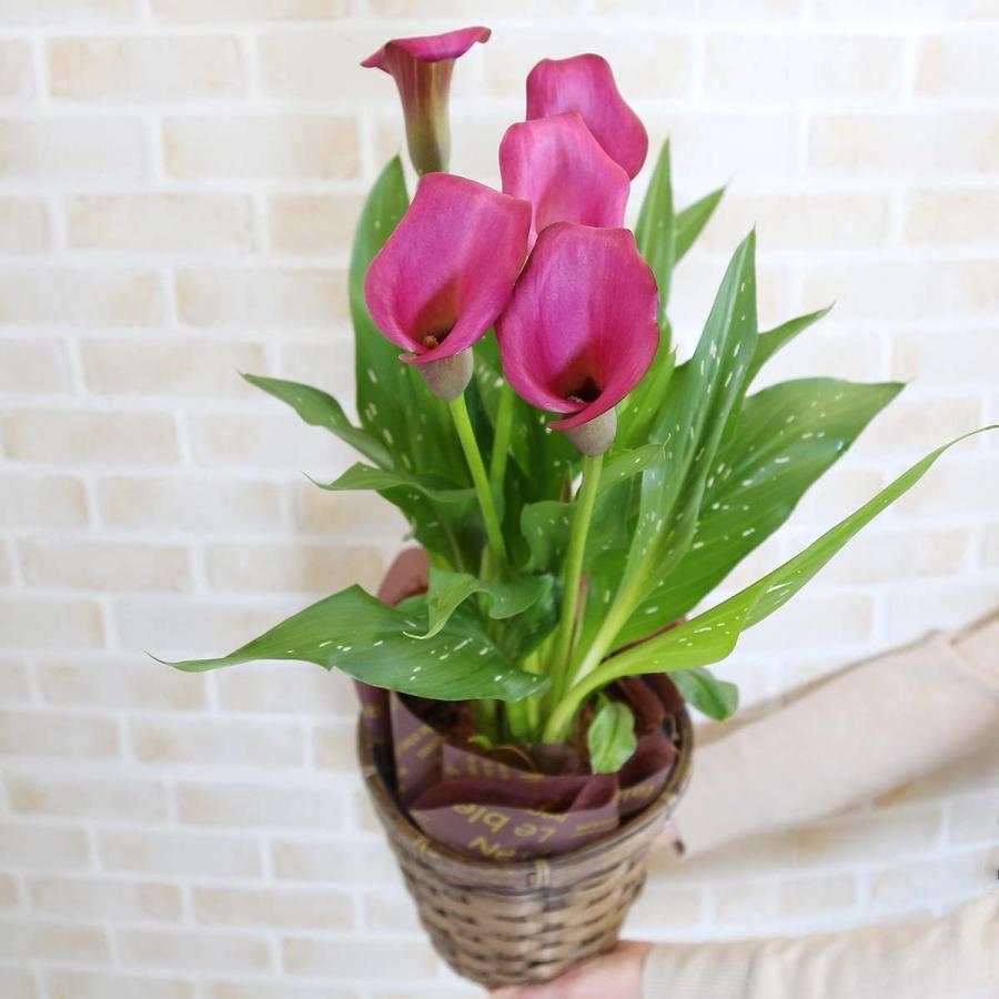 【遅れてゴメンネ!】母の日 花 ギフト 「カラー  ピンク」 5号 バスケット鉢カバー|bloom-s