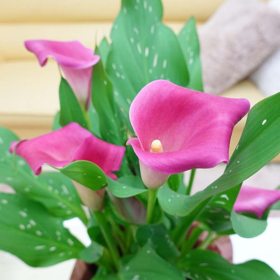 【遅れてゴメンネ!】母の日 花 ギフト 「カラー  ピンク」 5号 バスケット鉢カバー|bloom-s|02