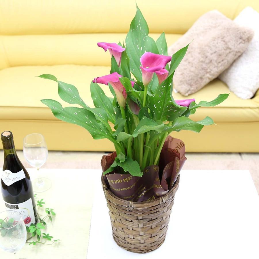 【遅れてゴメンネ!】母の日 花 ギフト 「カラー  ピンク」 5号 バスケット鉢カバー|bloom-s|03