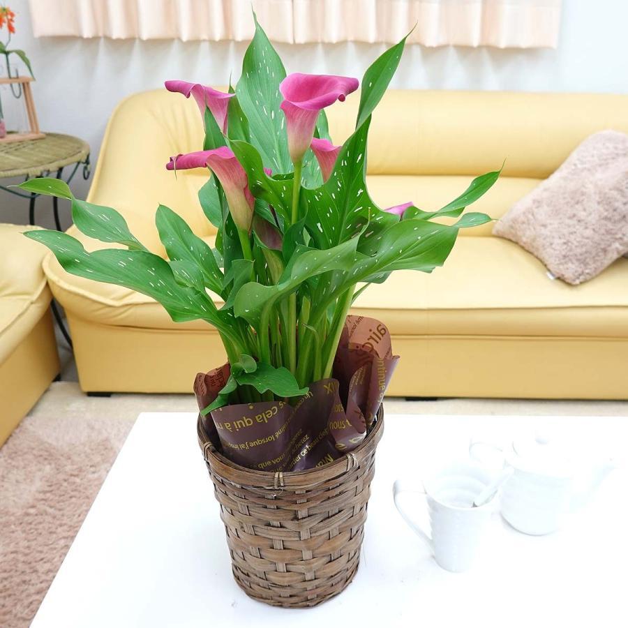 【遅れてゴメンネ!】母の日 花 ギフト 「カラー  ピンク」 5号 バスケット鉢カバー|bloom-s|04