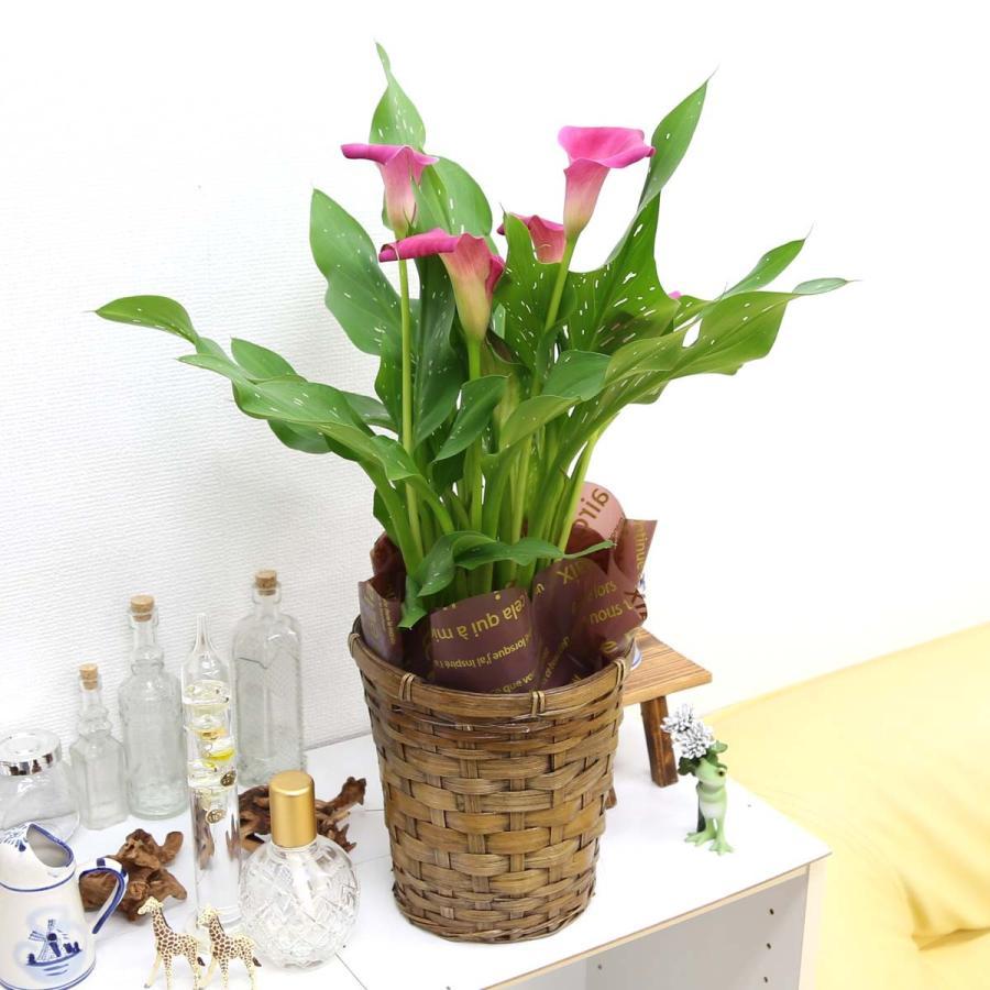 【遅れてゴメンネ!】母の日 花 ギフト 「カラー  ピンク」 5号 バスケット鉢カバー|bloom-s|05