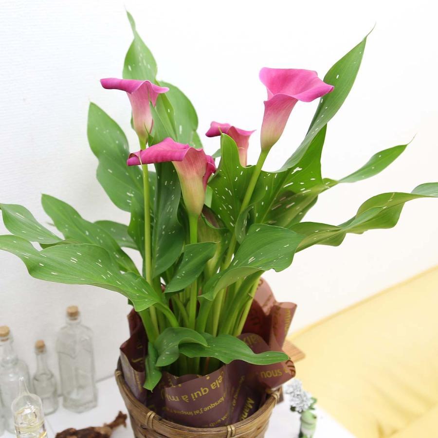 【遅れてゴメンネ!】母の日 花 ギフト 「カラー  ピンク」 5号 バスケット鉢カバー|bloom-s|06