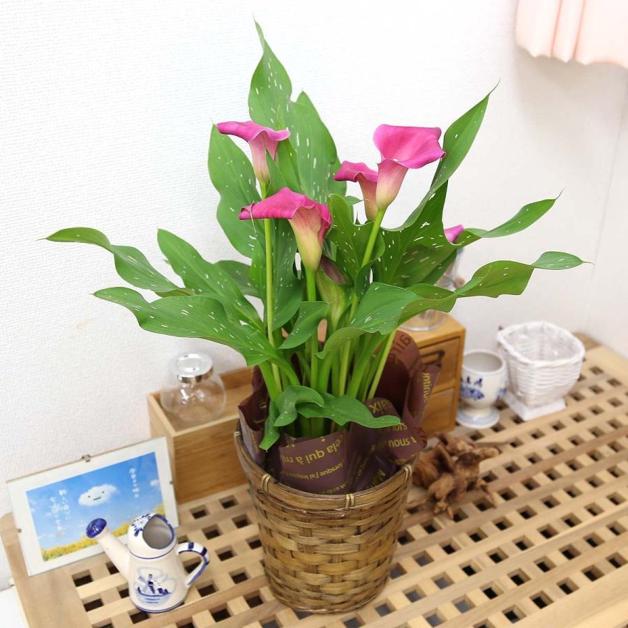 【遅れてゴメンネ!】母の日 花 ギフト 「カラー  ピンク」 5号 バスケット鉢カバー|bloom-s|07