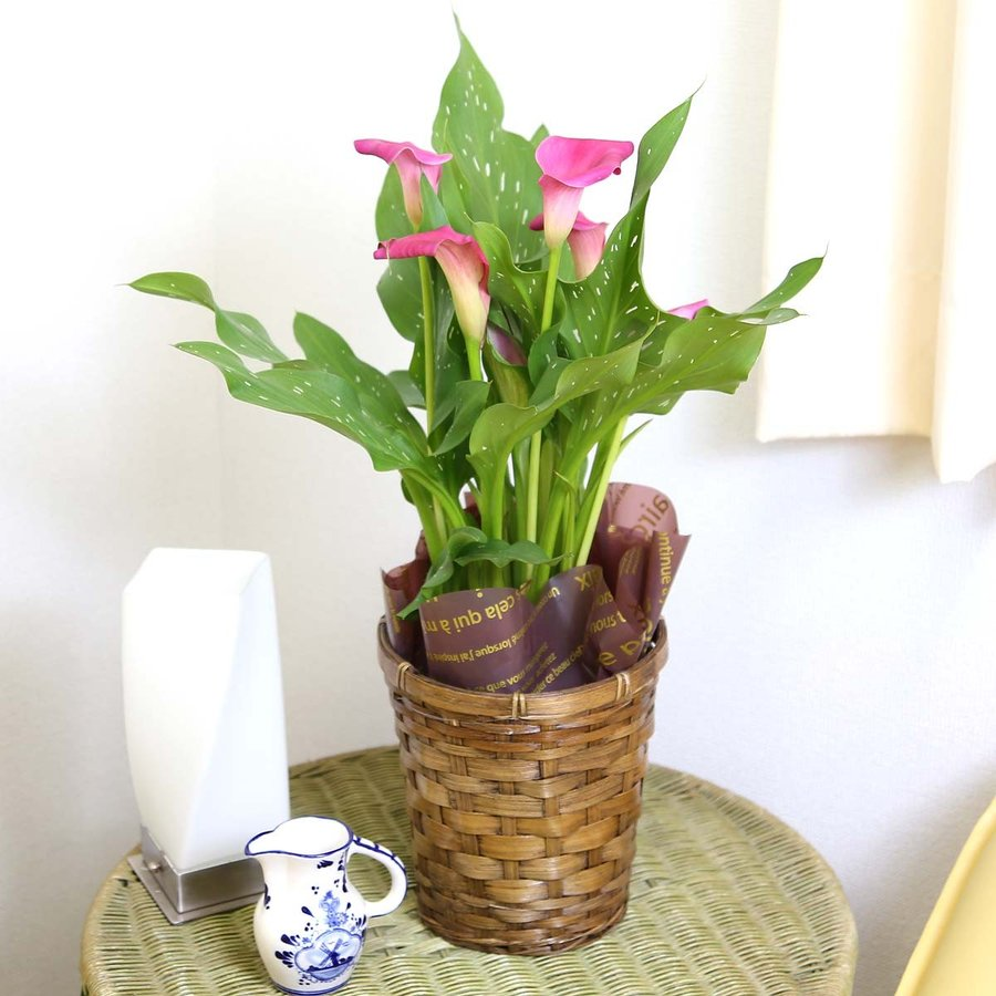 【遅れてゴメンネ!】母の日 花 ギフト 「カラー  ピンク」 5号 バスケット鉢カバー|bloom-s|08