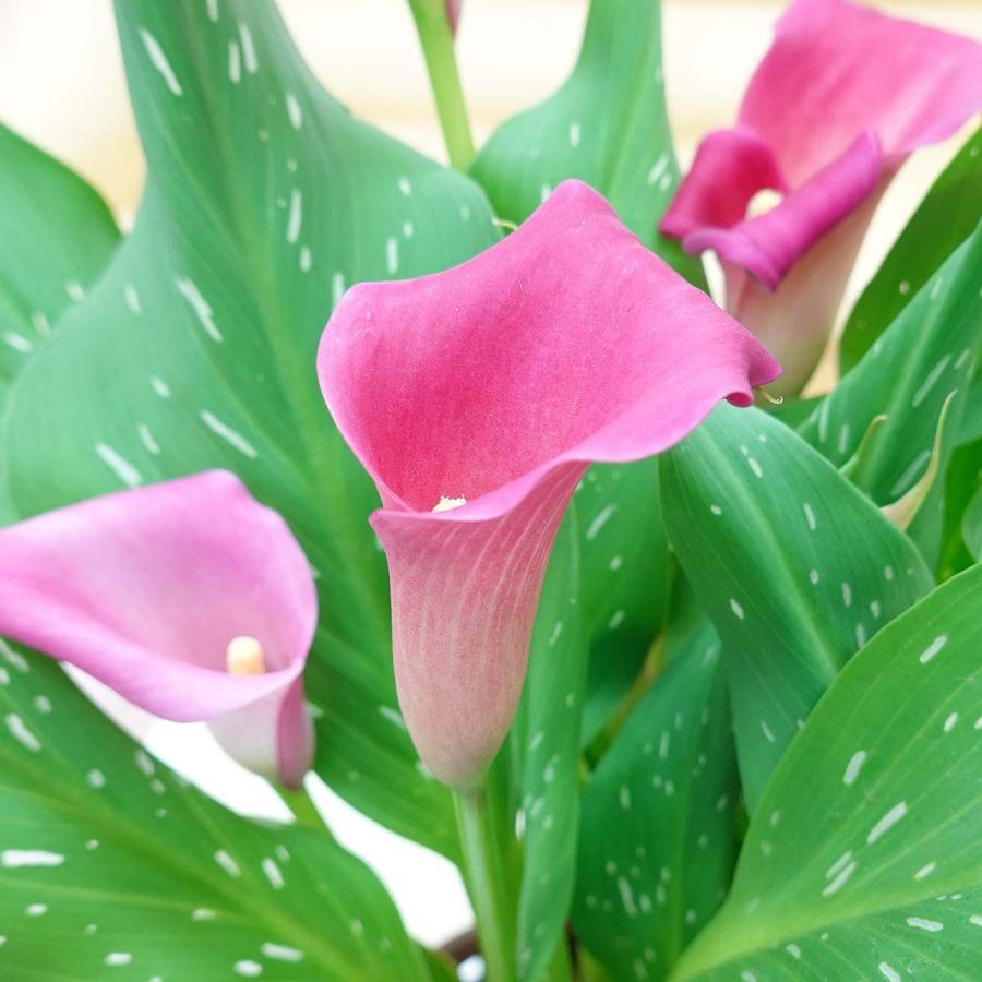 【遅れてゴメンネ!】母の日 花 ギフト 「カラー  ピンク」 5号 バスケット鉢カバー|bloom-s|09