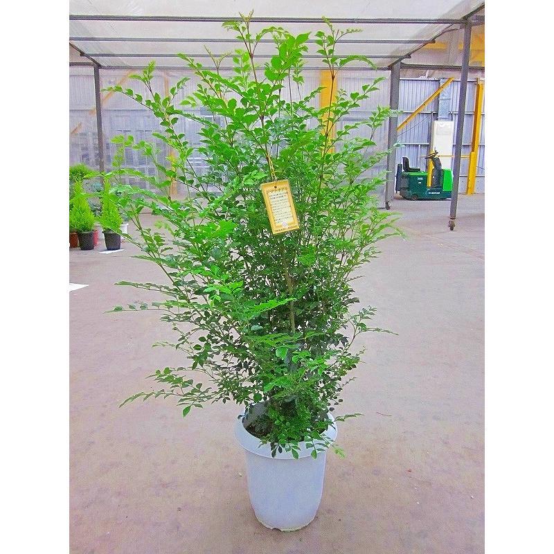 シマトネリコ 8号鉢 涼しげでサラサラと風に揺れる姿が癒される人気の観葉植物です 倉 インテリアやガーデニングに人気です 通販 激安
