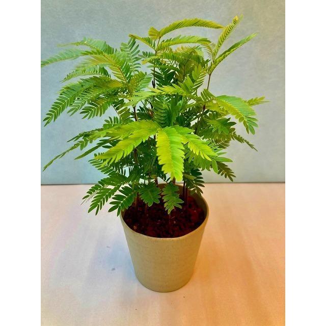 エバーフレッシュ 3.5号 ホワイト 観葉植物 ねむの木 インテリア 贈り物 開店祝い 誕生日 ギフト 記念日 鉢 母の日 定番スタイル 新生活
