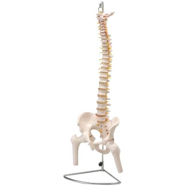 人体模型シリーズ 大腿骨付脊髄帯神経整体模型〔同梱不可〕