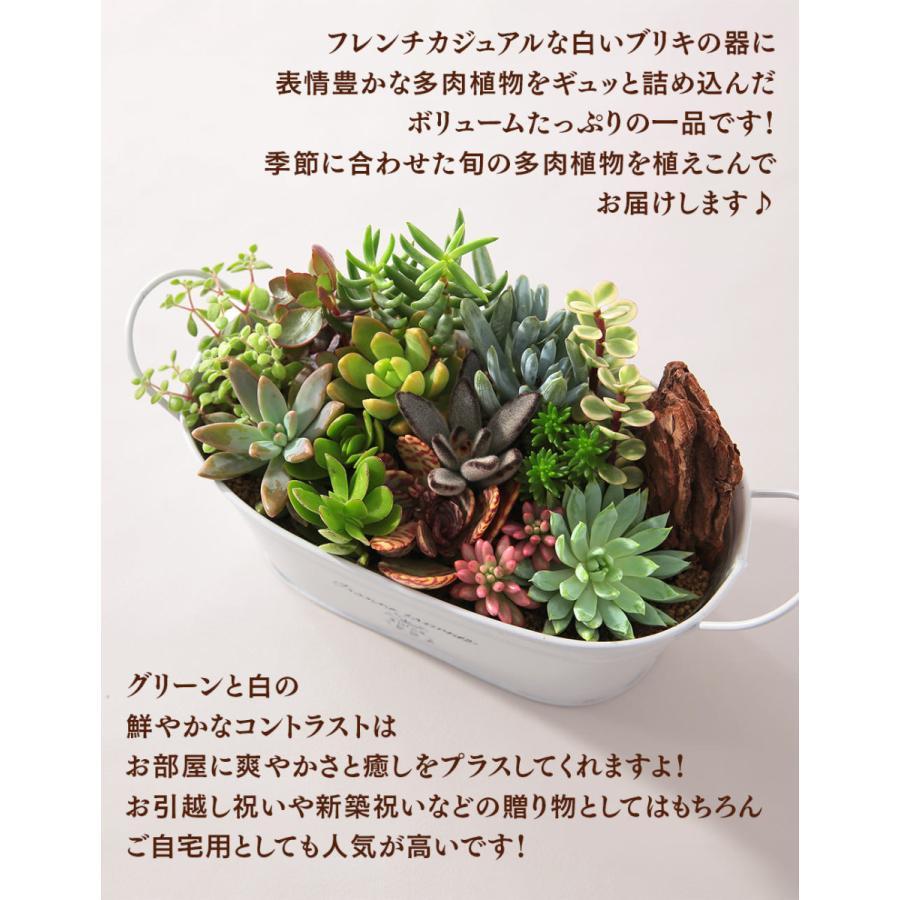 【多肉植物 寄せ植え 誕生日プレゼント ギフト】おまかせ多肉アソートM2|bunbunbee|05