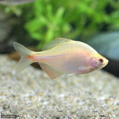 淡水魚 [再販ご予約限定送料無料] イエローバラタナゴ 3匹 未使用品