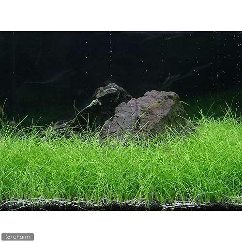 水草 ヘアーグラス 水上葉 無農薬 おしゃれ 2束分 割引も実施中