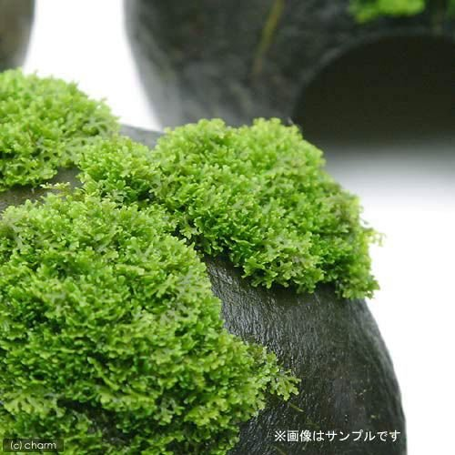 水草 プレミアムグリーンモス バラ 1パック分 高品質 無農薬 待望