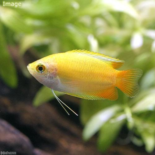熱帯魚 ゴールデンハニー ショップ ドワーフグラミー 希少 北海道航空便要保温 5匹