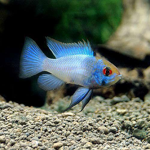 熱帯魚 ブルーダイヤモンド ラミレジィ 北海道航空便要保温 1年保証 本物◆ 3匹