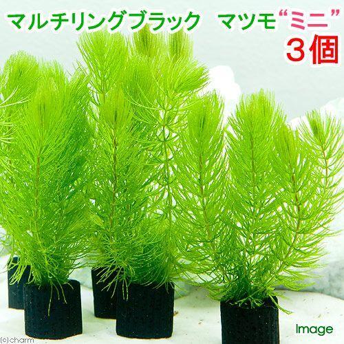 商い 水草 マルチリングブラック 黒 マツモ 3個 無農薬 ミニ アウトレット☆送料無料