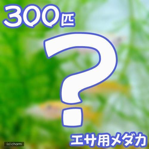 直営限定アウトレット めだか 生餌 エサ用メダカ えさ用めだか 300匹 即納送料無料!