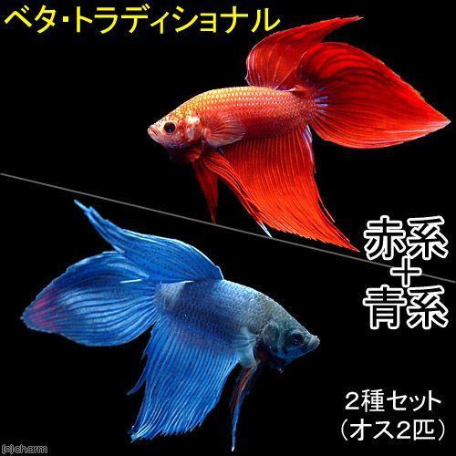 熱帯魚 ベタ トラディショナル 赤系 青系 メーカー直送 オス 各種1匹 激安☆超特価 北海道航空便要保温 2匹 2種セット