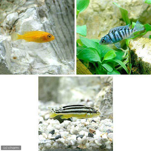 熱帯魚 ムブナ3種ミックス Bセット 各種1匹 3匹 受注生産品 北海道航空便要保温 発売モデル