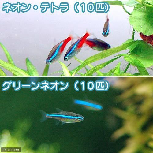 百貨店 熱帯魚 ネオンテトラ 10匹 超激安特価 北海道航空便要保温 グリーンネオンテトラ