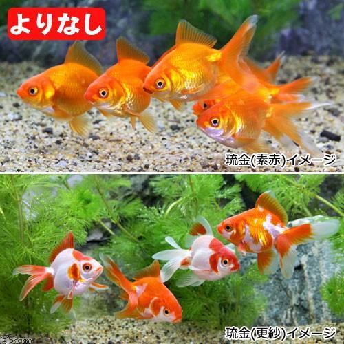 国産金魚 日本未発売 よりなし 無選別 素赤〜更紗 琉金 5匹 2020A/W新作送料無料